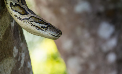 close up of a boa snake slithering  the tree