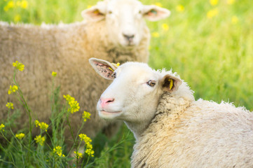 sheep with pink nose  on  sunny summer pasture with rape