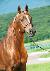 portrait of chestnut  arabian stallion
