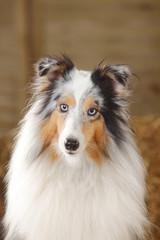 Porträt von blue-merle Sheltie, Shetland -Schäferhund