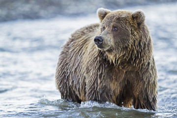 USA, Alaska, Braunbär in Silver Salmon Creek in Lake Clark Nationalpark und Reservat