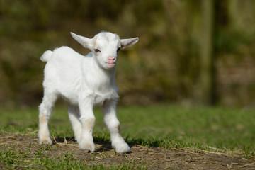 Weißes Ziegenkind