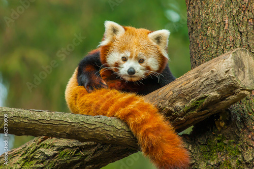 Deurstickers Panda Red panda