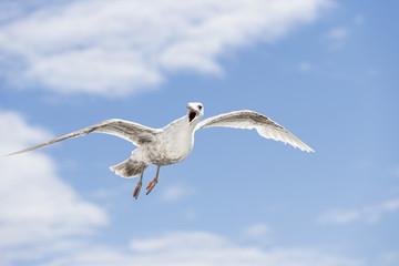 Kanada, British Columbia, Vancouver Island, Glaucous-winged Gull (Larus glaucescens )