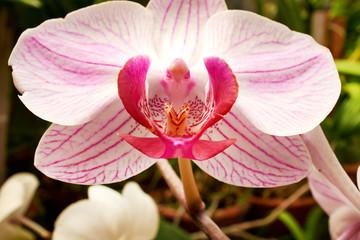 Beautiful  orchid - phalaenopsis
