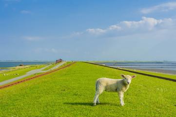Deutschland, Schleswig -Holstein, Ansicht der Schafe auf Gras
