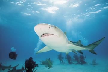 Bahamas, Taucher entdecken mit atlantischem Zitronenhai