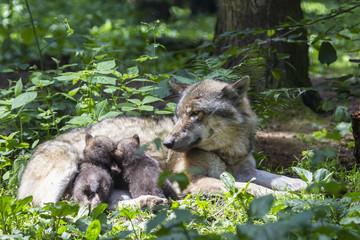 Deutschland, Bayern, Grauer Wolf säugt ihre Welpen