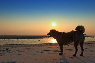 Silhouette beach dog at sunset