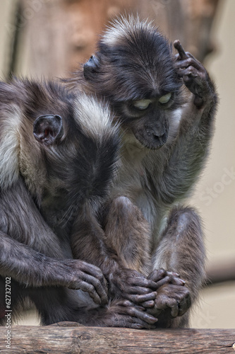Two monkeys while holding hands