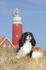 Niederlande, Texel, Cavalier King Charles Spaniel sitzt vor einem Leuchtturm auf einer Düne