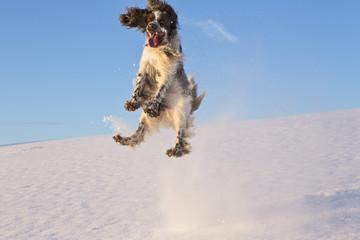 Deutschland, Bayern, English Springer Spaniel im Schnee spielen