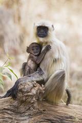 Indien, Madhya Pradesh, Languren in Bandhavgarh National Park