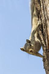 Indien, Uttar Pradesh, Agra, indischen Palm Eichhörnchen auf Ast