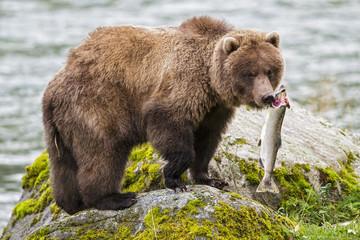 USA, Alaska, gefangen Braunbär Lachs Chilkoot See