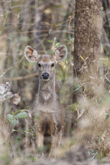 Indien, Madhya Pradesh, Sambar Hirsche in Kanha National Park