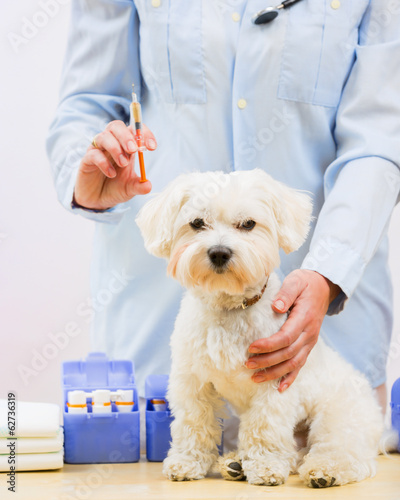 Veterinary medicine to the puppy of the Maltese