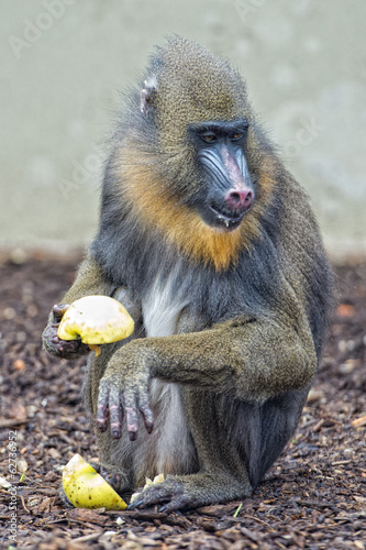 Isolated Mandrill Monkey portrait