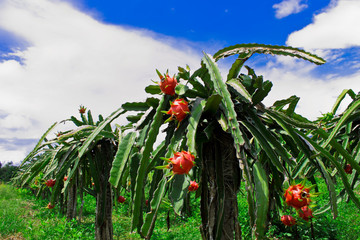 Dragon fruit farm in Thailand