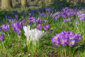 White Crocuses (Standing Out from the Crowd)