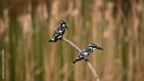 Pied Kingfisher setting on branch and fishing