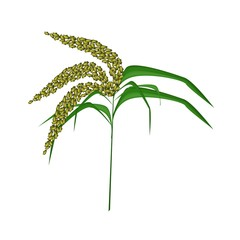 Green Colors of Unripe Millet on White Background