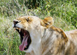 A lioness wide open her mouth
