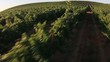 grape field at sunrise. aerial shot