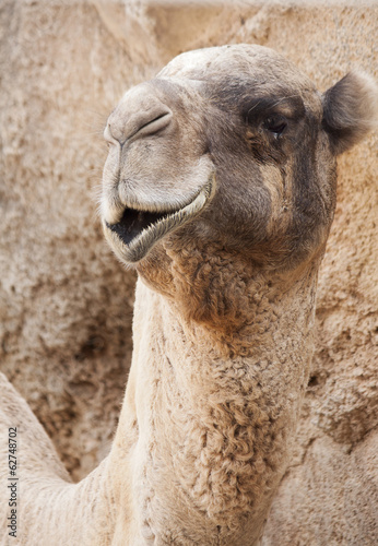 Camel face with open mouth
