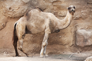 Dromedary portrait looking at the camera