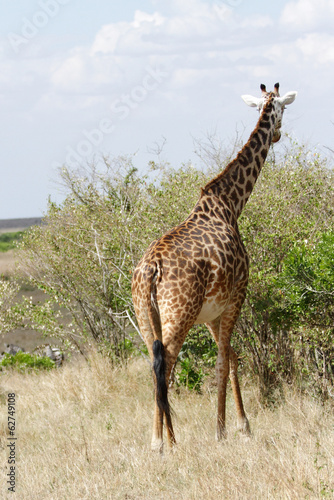 A beautiful Giraffe moving to the green bush