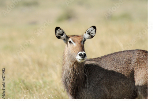 A closeup of a beautiful Waterbuck