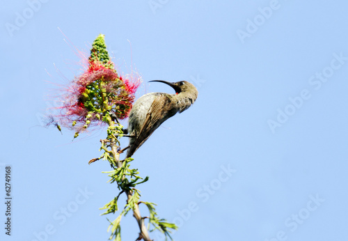 A beautiful Hunters sunbird perched on a branch