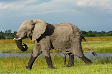 Elefantenbulle in Moremi