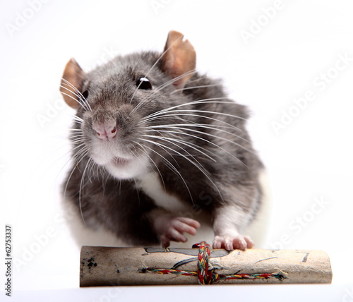 Rat with scroll