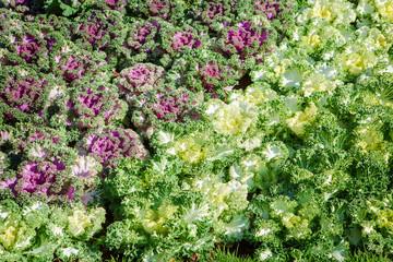 Purple decorative cabbage in a garden