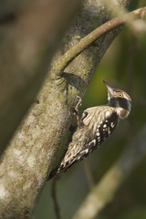 Brown-capped pygmy woodpecker.bird in Nepal