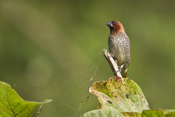Scaly-breasted munia bird in Nepal