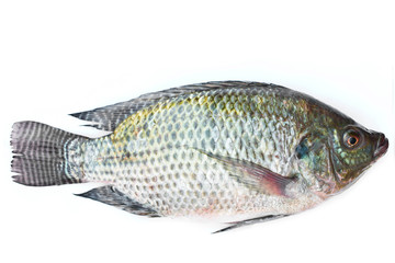 Tilapia on white background