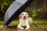 Fototapety Dog in rain