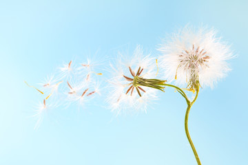 dandelion plant with seeds isolated on blue