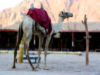 Kamel in Wüste von Ägypten