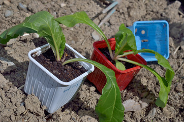 côtes de blettes,jardinage de printemps