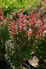 Berberis thunbergii Red Pillar