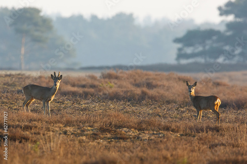 two roe deers on a field
