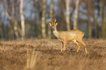 roe deer in a field of heather