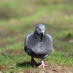 male pigeon walking in the park