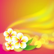 Frangipani flowers on colorful background
