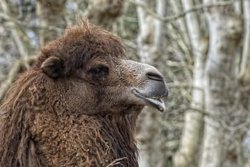 Dromedary Camel sitting near Bedouin Oasis