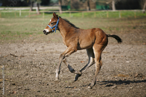 Thoroughbred foal running alone in nature